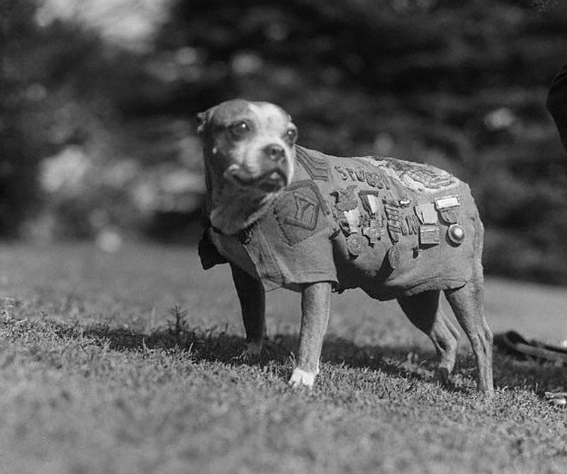 Licensed under Public Domain via Wikimedia Commons - https://commons.wikimedia.org/wiki/File:Sergeant_Stubby.jpg#mediaviewer/File:Sergeant_Stubby.jpg