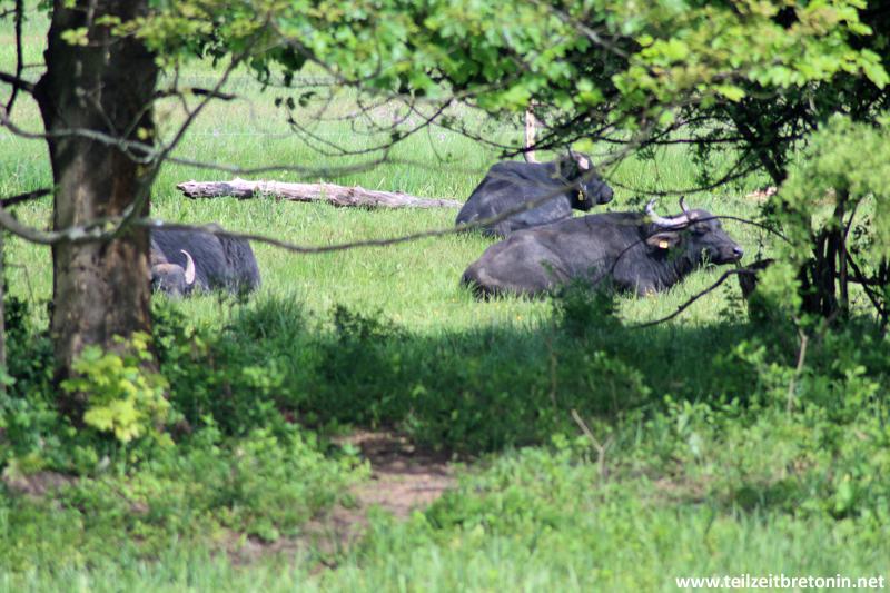 Wasserbüffel bei der Siesta